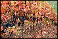 Row of wine grapes in autumn. Napa Valley, California, USA (color)