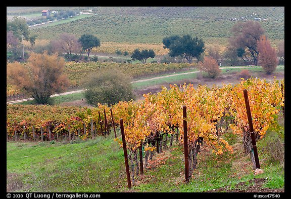 Vineyard landscape in autumn. Napa Valley, California, USA