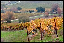 Vineyard landscape in autumn. Napa Valley, California, USA (color)