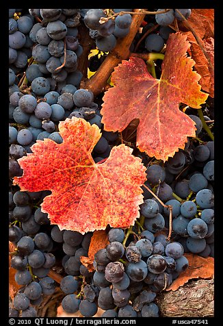 Close-up of grapes and red leaves in autumn. Napa Valley, California, USA