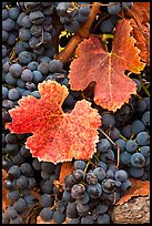 Close-up of grapes and red leaves in autumn. Napa Valley, California, USA (color)