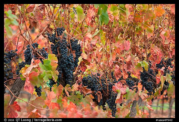 Grape and red grape leaves on vine in fall vineyard. Napa Valley, California, USA