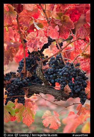 Vine with wine grapes and red leaves in autumn. Napa Valley, California, USA