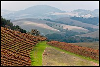 Vineyard and hazy hills. Napa Valley, California, USA (color)