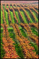 Vineyard with rows of vines in autumn. Napa Valley, California, USA (color)