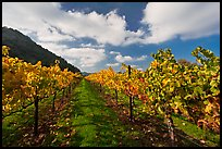 Rows of wine grapes with yellow leaves in autumn. Napa Valley, California, USA (color)