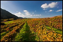 Golden fall colors on grape vines in vineyard. Napa Valley, California, USA (color)