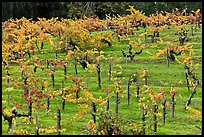 Vines on steep, terraced terrain, autumn. Napa Valley, California, USA (color)
