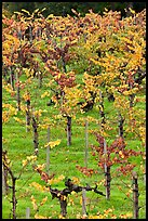 Wine grapes cultivated on steep terraces. Napa Valley, California, USA (color)