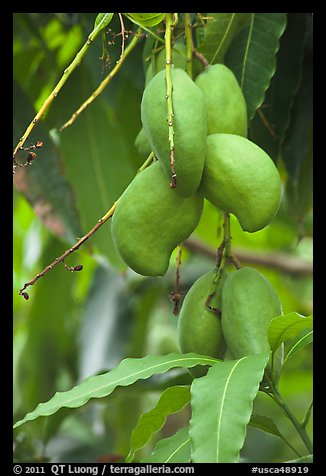 Mango fruit on tree, Gilroy Gardens. California, USA
