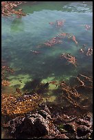 Kelp from above. Point Lobos State Preserve, California, USA ( color)