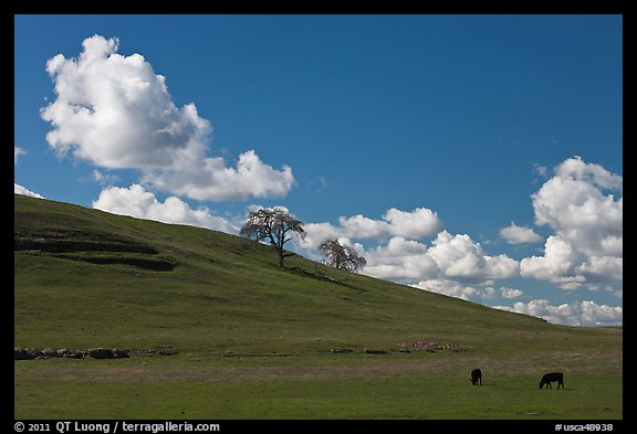Hillside with clouds, trees, and cows. California, USA (color)