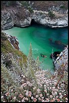 Flowers and cove with green water. Point Lobos State Preserve, California, USA ( color)