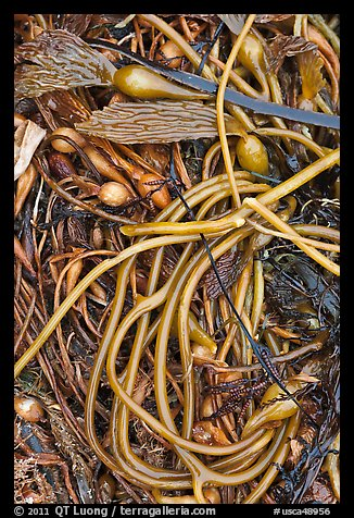 Beached kelp close-up. Point Lobos State Preserve, California, USA (color)
