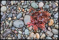 Wet pebbles and red algae. Point Lobos State Preserve, California, USA (color)