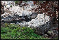 Monterey Cypress, wildflowers, and cove. Point Lobos State Preserve, California, USA (color)
