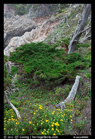 Flowers and cypress. Point Lobos State Preserve, California, USA (color)