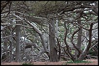Monterey cypress. Point Lobos State Preserve, California, USA (color)