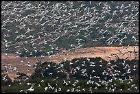 Flock of birds in flight. Carmel-by-the-Sea, California, USA ( color)
