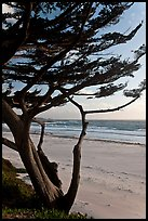 Cypress at the edge of Carmel Beach. Carmel-by-the-Sea, California, USA ( color)
