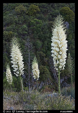 Yucca in bloom near Yucca Point, Giant Sequoia National Monument near Kings Canyon National Park. California, USA (color)
