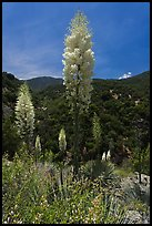 Yucca in bloom in Kings Canyon, Giant Sequoia National Monument near Kings Canyon National Park. California, USA (color)