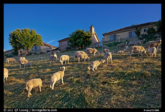 Sheep grazing below houses, Silver Creek. San Jose, California, USA (color)