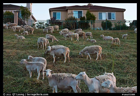 Sheep and suburban hones, Silver Creek. San Jose, California, USA (color)