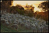 Sheep at sunset, Silver Creek. San Jose, California, USA (color)
