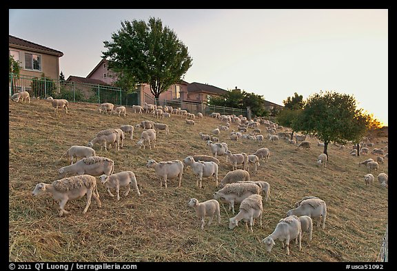 Sheep on slope below residences, Silver Creek. San Jose, California, USA