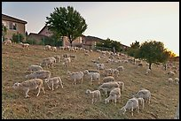 Sheep on slope below residences, Silver Creek. San Jose, California, USA (color)