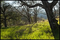 Trees in early spring, Almaden Quicksilver Park. San Jose, California, USA ( color)