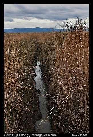 Narrow creek and tall grasses, Alviso. San Jose, California, USA