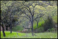 Trees, early spring, Joseph Grant Park. San Jose, California, USA ( color)