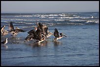 Pelicans, Scott Creek Beach. California, USA ( color)