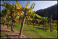 Savannah-Chanelle Vineyards, Santa Cruz Mountains. California, USA (color)