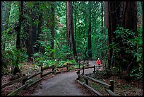 Visitor in redwood forest. Muir Woods National Monument, California, USA (color)