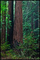 Redwoods and lush undergrowth. Muir Woods National Monument, California, USA (color)