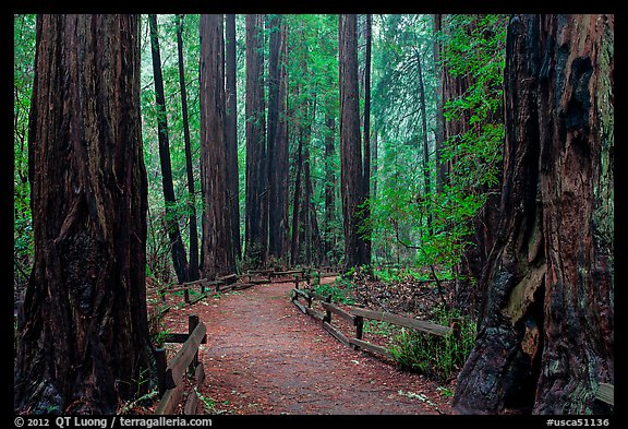 Trail through Cathedral Grove. Muir Woods National Monument, California, USA (color)