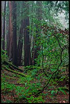 Fog. Muir Woods National Monument, California, USA (color)
