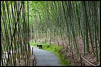 Path in bamboo forest. Saragota,  California, USA ( color)