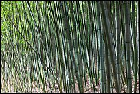 Bamboo grove. Saragota,  California, USA (color)
