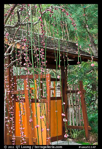 Gate and blossoms. Saragota,  California, USA