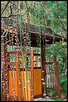 Gate and blossoms. Saragota,  California, USA ( color)