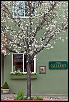 Tree in bloom and art gallery. Saragota,  California, USA (color)