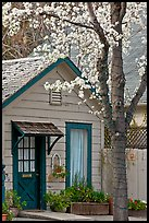 Tree in bloom and house. Saragota,  California, USA ( color)