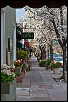 Sidewalk framed by blooming trees. Saragota,  California, USA ( color)