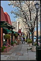 Sidewalk with blossoms. Saragota,  California, USA ( color)