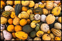 Gourds and pumpkins. Half Moon Bay, California, USA ( color)