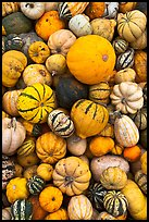 Squash, pumpkins, and gourds. Half Moon Bay, California, USA (color)